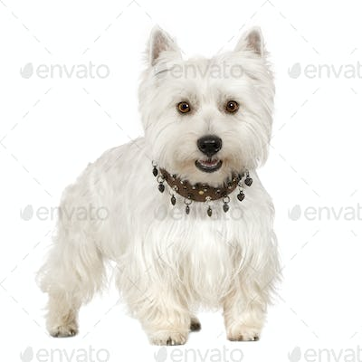 West Highland White Terrier (18 months)