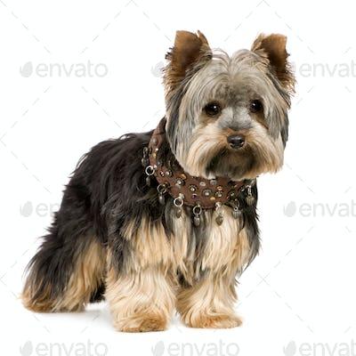Yorkshire Terrier (1 year)