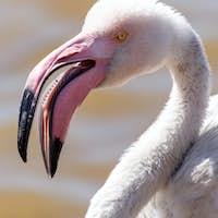 Flamingo - Namibia