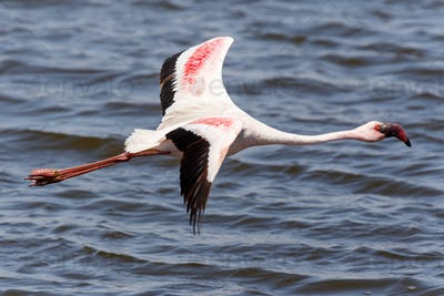 Flamingo Flying - Namibia