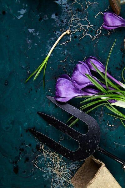Gardening tools, peat pots, crocus flower. spring