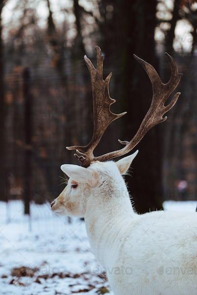 Albino white Fallow Deer Buck Dama Dama in the winter forest