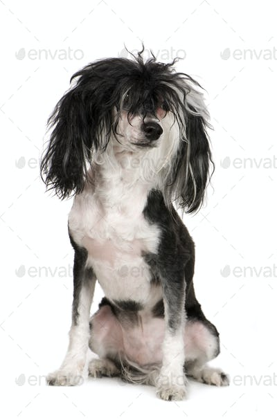 Chinese Crested Dog - Powderpuff (4 years)