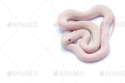 White rat snake isolated on white background