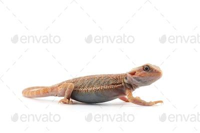 Bearded Dragon isolated on white background