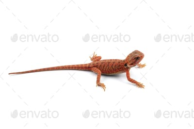 Bearded Dragon isolated on white background