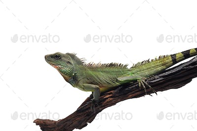 Chinese Water Dragon isolated on white background
