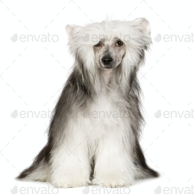 Chinese Crested Dog - Powderpuff