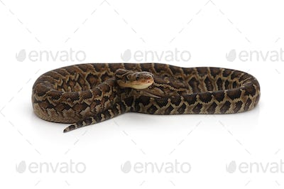 Cuban tree boa isolated on white background