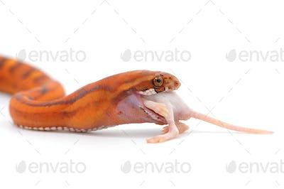 scaleless snake eat mouse isolated on white background