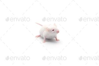 laboratory white mouse isolated on white background