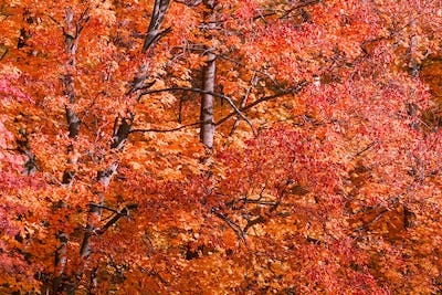 Orange and red foliage of maple in a forest. Beautiful nature autumn  background.