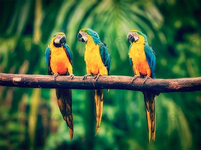 Blue-and-Yellow Macaw in jungle
