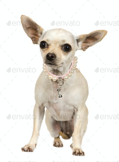 chihuahua (2 years)