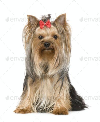Yorkshire Terrier (15 months)