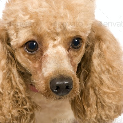 Poodle (3 years)