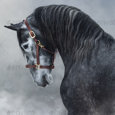 Portrait of gray Purebred Andalusian horse in smoke.