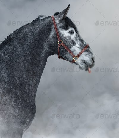 Portrait of gray Andalusian horse sticks his tongue.