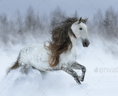 Grey long-mane Andalusian horse galloping during snowstorm.
