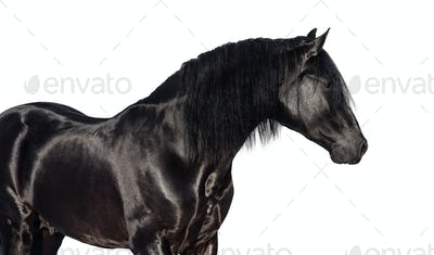 Portrait of black Pura Spanish horse.
