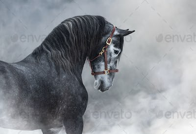 Portrait of gray Purebred Spanish horse in smoke.