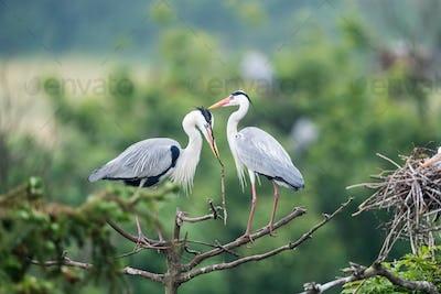 grey heron sitting on branch, ardea cinerea