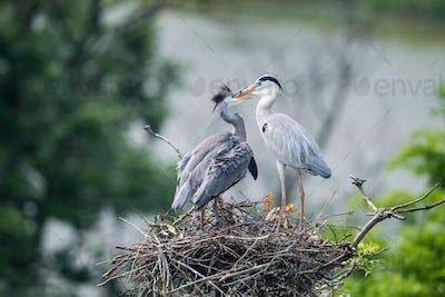 grey heron family on nest,  ardea cinerea feeding