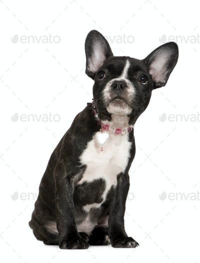 French Bulldog (4 months)