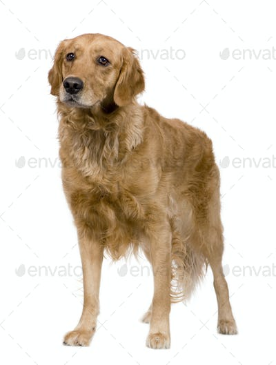 Golden Retriever (2 years)