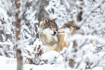 Two beautiful wolves in the forest a snowy day at winter