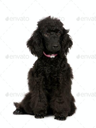 Poodle (6 months)