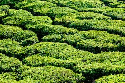 Green teal plantations close up