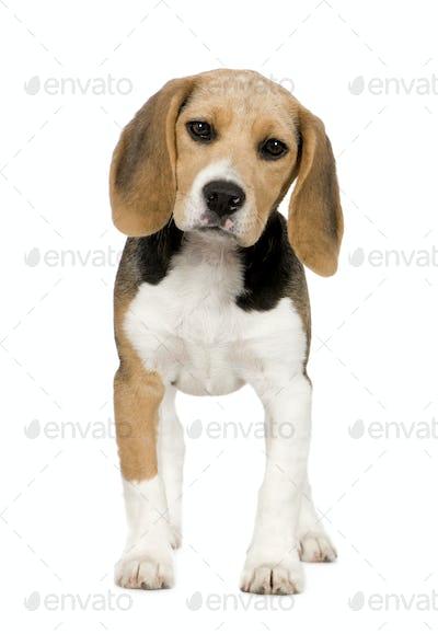 Beagle (3 months)