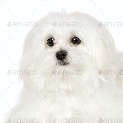 maltese dog (7 months)