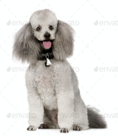 Poodle (2 years)