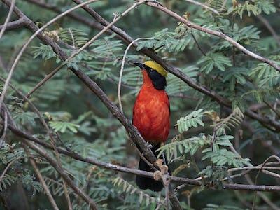 Yellow-crowned gonolek (Laniarius barbarus)