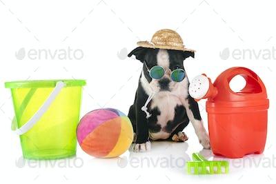 puppy boston terrier
