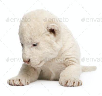 White Lion Cub (1 week)