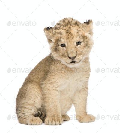 Lion Cub (6 weeks)