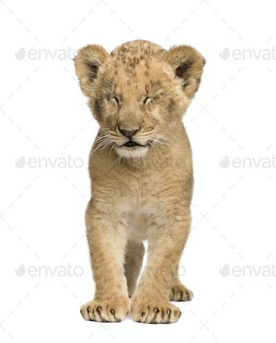Lion Cub (8 weeks)