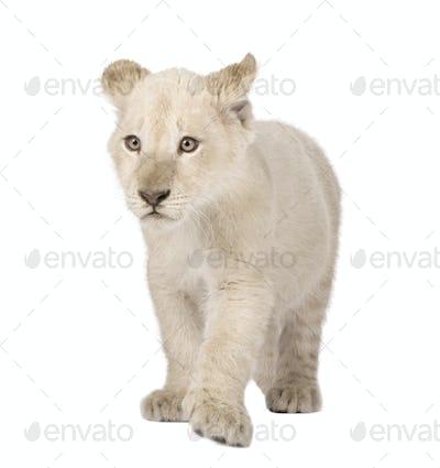 White Lion Cub (12 weeks)