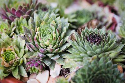 Sempervivum in nature. Perennial plant growing in flower pot
