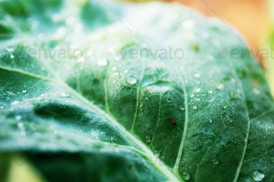 Leaves of kale with texture