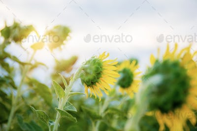 Sunflower with sunlight