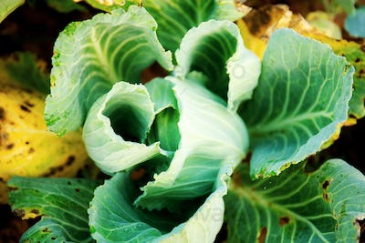 Cabbage of dried leaves