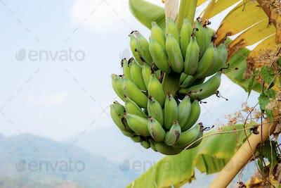 Banana on tree at sky