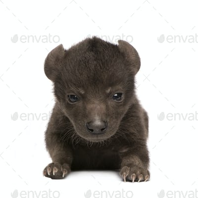 Hyena cub (6 days)