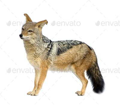 black-backed jackal - Canis mesomelas