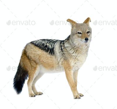 black-backed jackal () - Canis mesomelas