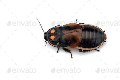 Macro Giant cockroach isolated on white background